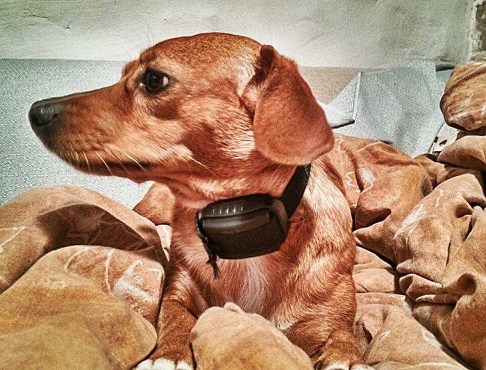 haukumisvastane seade koera kaelas